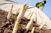 Praca Niemcy w rolnictwie dla Polaków przy zbiorach szparagów Neuwarendorf