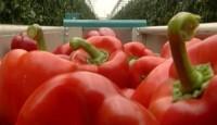 Sezonowa praca Niemcy bez języka przy zbiorach warzyw w szklarni Oranienburg