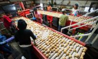 Od zaraz dam pracę w Niemczech przy sortowaniu ziemniaków w Wrestedt