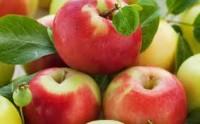 Ogłoszenie sezonowej pracy w Niemczech w sadzie przy zbiorach jabłek dla Polaków