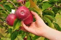 Od zaraz oferta sezonowej pracy w Niemczech przy zbiorze jabłek/gruszek Drezno