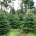 plantacja choinek norwegia