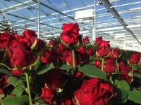 Bez języka sezonowa praca Niemcy od zaraz w ogrodnictwie przy kwiatach Löbau w szklarni