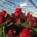 roze kwiaty szklarnia2