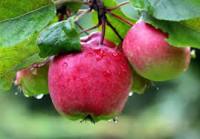 Od sierpnia 2017 dam sezonową pracę w Niemczech zbiory jabłek Cottbus