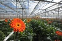 Sezonowa praca Niemcy w ogrodnictwie 2017 przy kwiatach bez języka Straelen