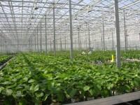 Ogrodnictwo od zaraz dam sezonową pracę w Niemczech dla kobiet w szklarni Ellwangen