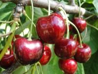 Od zaraz Niemcy praca sezonowa przy zbiorze czereśni, gruszek, wiśni i śliwek 2017