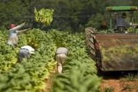 Bez języka dam sezonową pracę w Niemczech 2017 przy zbiorach tytoniu Koblencja