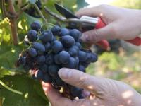 Oferta sezonowej pracy w Niemczech Kröv bez języka przy zbiorach winogron 2017