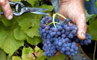 Oferta sezonowej pracy w Niemczech bez języka przy zbiorze winogron 2017 od zaraz Walldorf