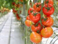 Od zaraz ogłoszenie sezonowej pracy w Niemczech zbiory papryki i pomidorów Torgau