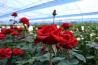Ogrodnictwo dam sezonową pracę w Niemczech przy kwiatach od zaraz bez języka Löbau