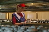 Od zaraz oferta sezonowej pracy w Niemczech zbiory pieczarek bez języka Budziszyn