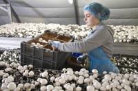 Niemcy praca sezonowa od zaraz przy zbiorach pieczarek bez języka Budziszyn