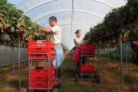 Ogłoszenie sezonowej pracy w Niemczech zbiory truskawek w szklarni bez języka