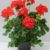 AvD Zonale Fontain Fertigware Einzelpflanze