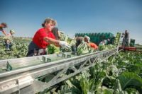 Niemcy praca sezonowa pracy zbiorach warzyw – pomidorów, ogórków Radebeul