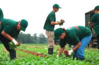 Od zaraz bez języka oferta pracy w Niemczech przy zbiorach warzyw, Dortmund 2018