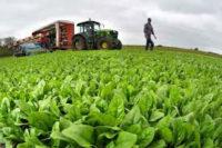 Niemcy praca sezonowa bez języka zbiory sałaty, marchwi, kapusty, rzodkiewki