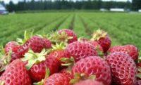 Bez języka oferta sezonowej pracy w Niemczech zbiory truskawek od zaraz Selfkant