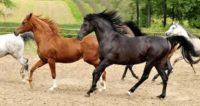 Dam pracę w Niemczech przy koniach jako pomocnik w stadninie od zaraz, Harz
