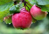 Sezonowa praca Niemcy od zaraz przy zbiorze jabłek w sadzie Görlitz 2018