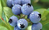 Oferta sezonowej pracy w Niemczech zbiory owoców malin, borówek, truskawek Hamburg