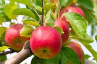 Dam sezonową pracę w Niemczech bez języka zbiory jabłek od zaraz Buxtehude