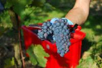 Ogłoszenie sezonowej pracy w Niemczech od sierpnia 2018 zbiory winogron bez języka Walldorf