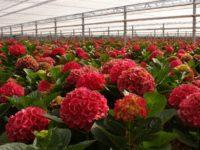 Sezonowa praca w Niemczech 2019 przy kwiatach – ogrodnictwo bez języka Emsbüren