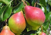 Od zaraz sezonowa praca Niemcy bez języka przy zbiorach jabłek, gruszek Cottbus