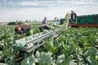 Niemcy praca sezonowa pracy zbiorach warzyw bez języka Frankfurt nad Menem