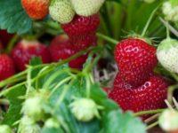 Niemcy praca sezonowa przy zbiorze szparagów i truskawek 2019 Nienhagen