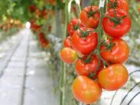 Ogłoszenie sezonowej pracy w Niemczech przy zbiorze pomidorów w szklarni od zaraz