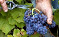 Sezonowa praca Niemcy bez znajomości języka od zaraz przy zbiorach winogron Karlsruhe