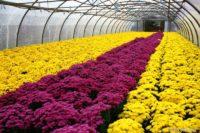 Niemcy praca sezonowa od zaraz w ogrodnictwie przy kwiatach bez języka Straelen