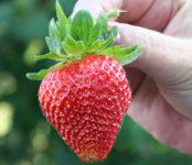 Niemcy praca sezonowa 2020 zbiory truskawek od zaraz bez języka w Kolonii
