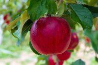 Od zaraz sezonowa praca w Niemczech bez języka zbiory gruszek, jabłek Cottbus 2020